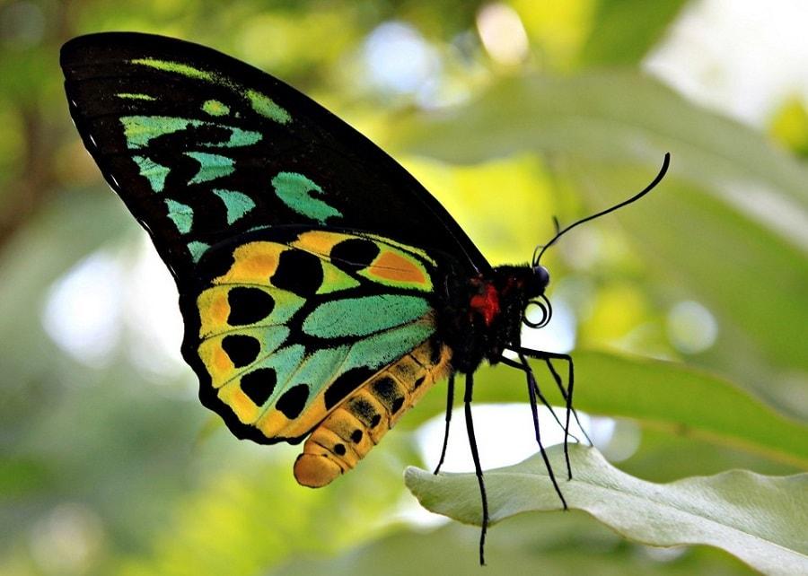 Самая дорогая бабочка