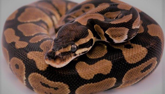 Самая дорогая змея в мире