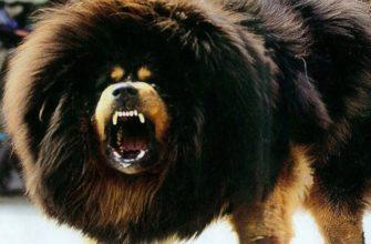 Самая дорогая собака - Тибетский мастиф
