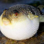 Самая дорогая рыба в Японии - любопытные факты