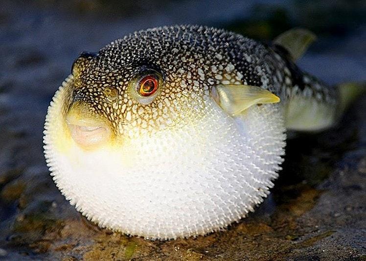 самая дорогая рыба в Японии